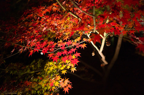 Momiji  at Night